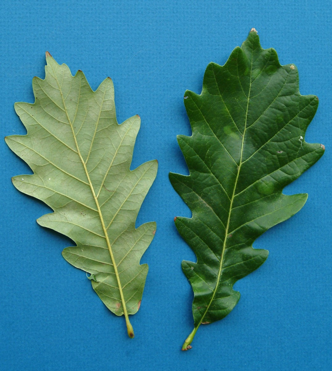 White Oak Leaf Identification ~ Kd woods company seeing the oak trees for forest